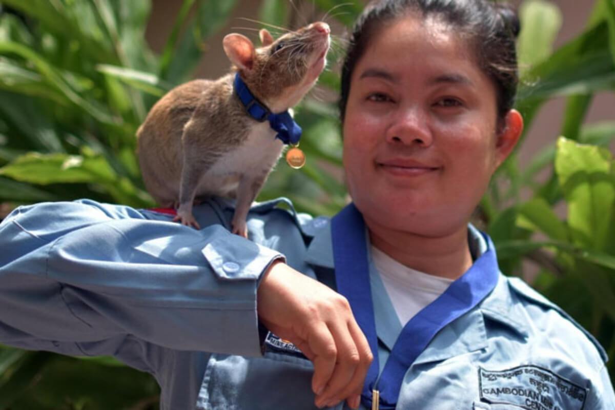 人命救助のヒーローネズミ「マガワ」が引退へ 地雷探知で大活躍