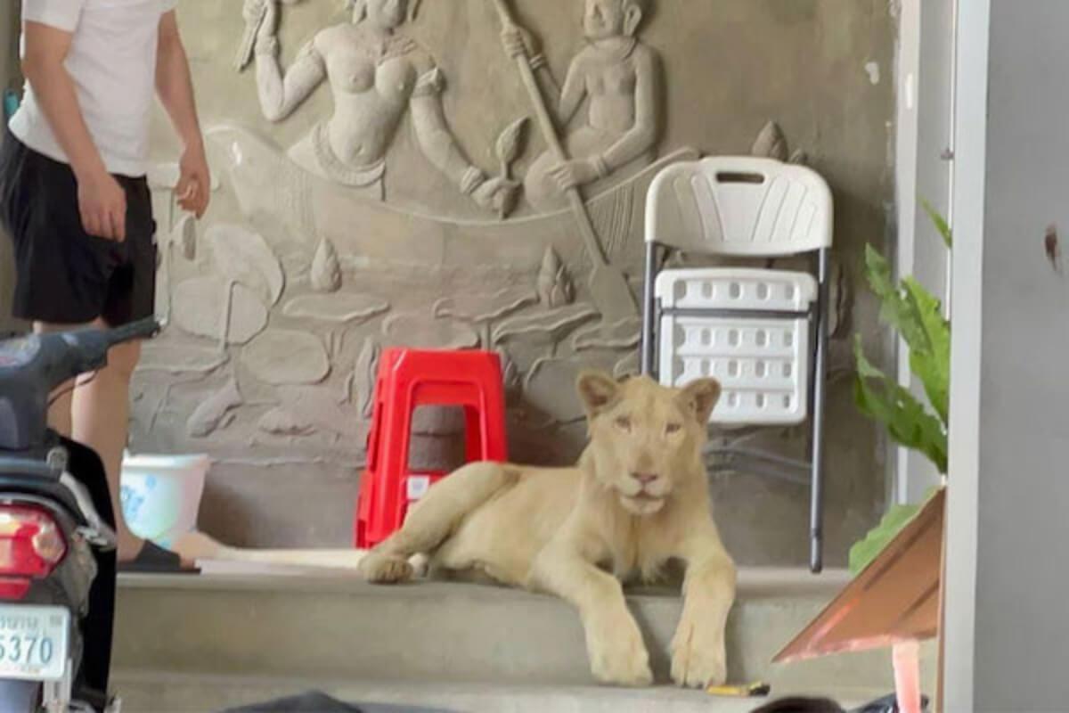ペットとしてライオン飼育、プノンペン・BKK1で 当局が保護
