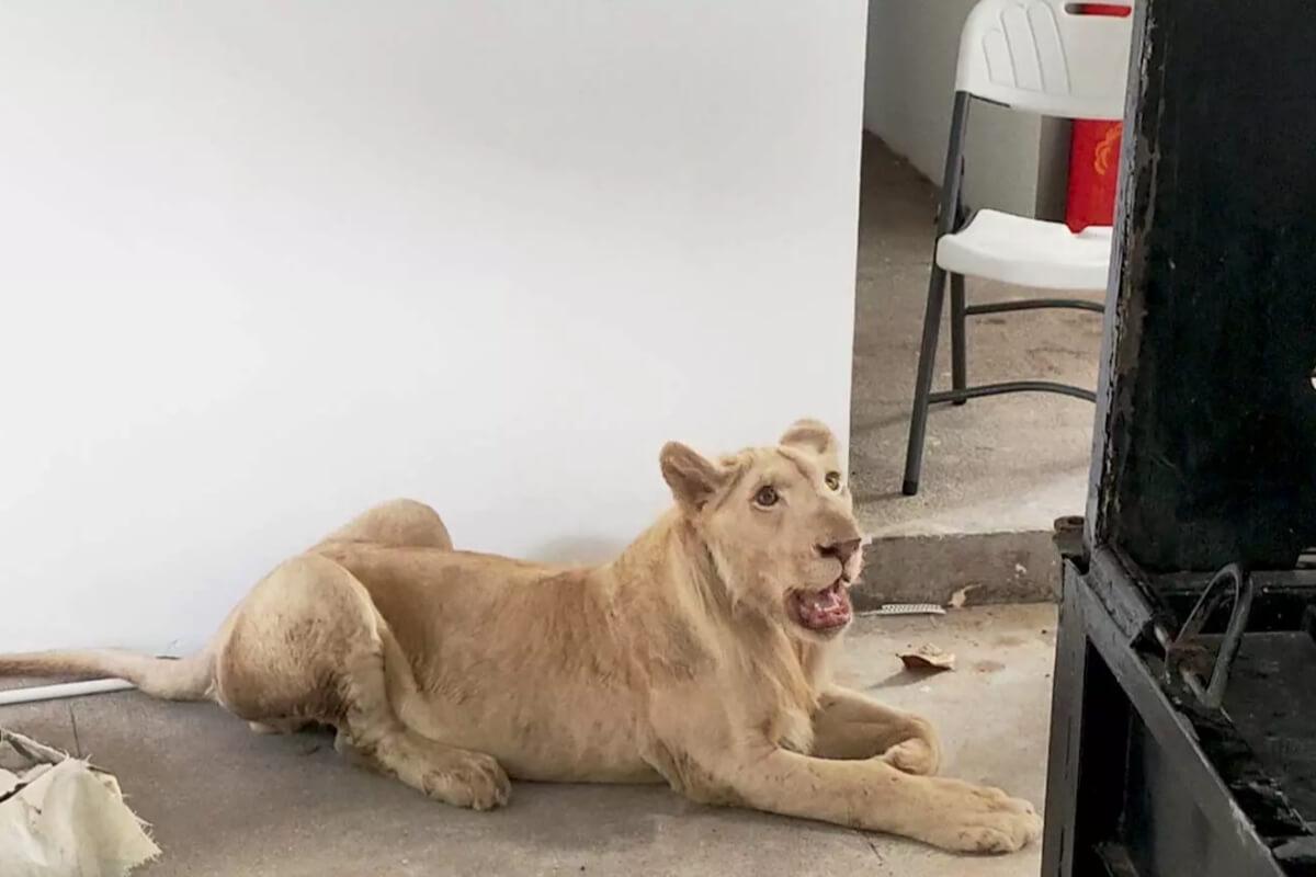 ライオンをペットとして飼育の男性、罰金330万円に:プノンペン