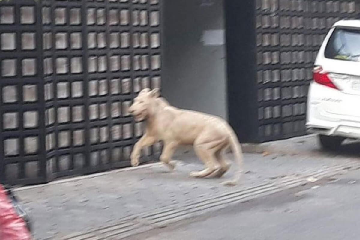 ボンケンコン地区で飼育のライオンが脱走、飼い主に連れ戻される