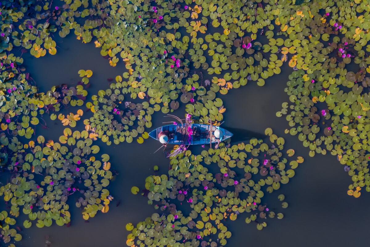 クアンガイ省で睡蓮が見頃に、観光客集まる