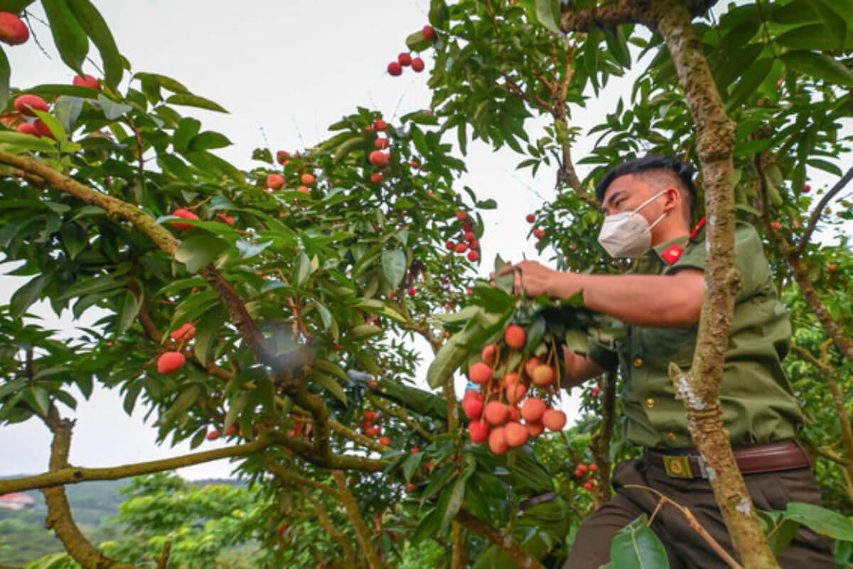 ライチの旬迎えるもコロナで収穫人手不足、警察官ら動員で総力戦