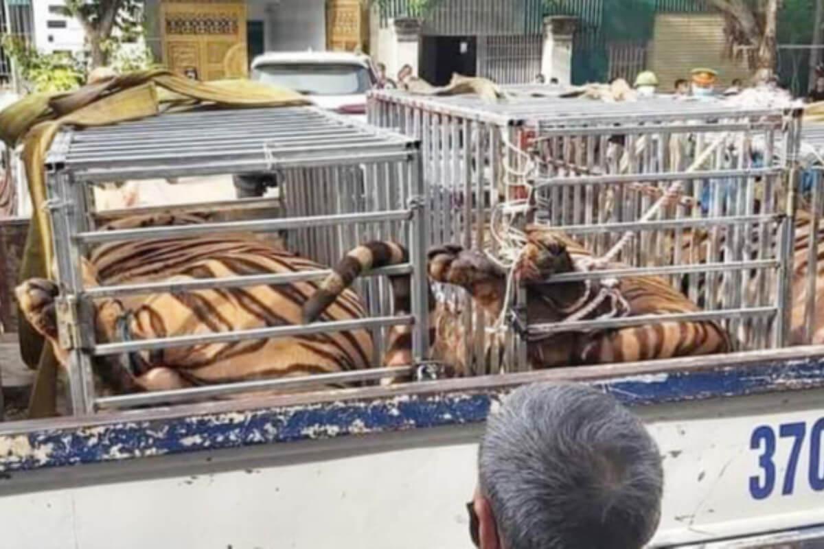 大人のトラ15頭を住宅で飼育:ゲアン省で警察が発見
